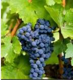 Un viticulteur bio poursuivi pour avoir refusé de traiter ses ceps